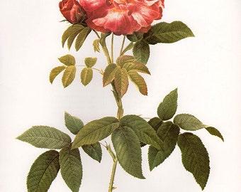 Blue Provins Rose art print vintage antique wall art pink flower art print Victorian art print antique rose art French rose prints 36
