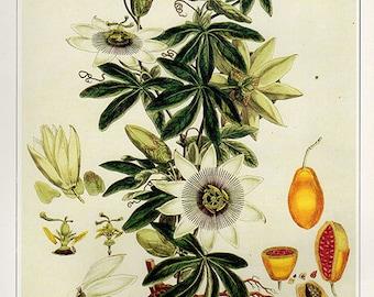 Vintage XLARGE PASSION FLOWER Botanical Print 40 Antique Flower print botanical print, bookplate art print, flowers wall print wall art