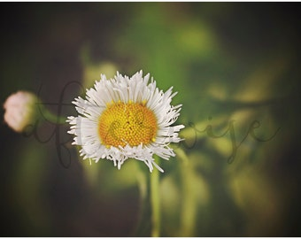 Daisy Flower Photography. Flower Photography. Flower Print. Flower Art Print. Daisy Photograph. Botanical. Nature Print. Nature Wall Art.