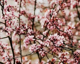 cherry blossom flower color photo print
