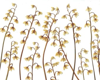 lilies of the valley ( 12 pcs ). Pressed flowers. Real flowers. Herbarium. Ivory. Ocher. For Oshibana, Cards, Scrapbooking, Decor,applique