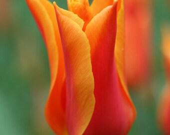 20 Tulip Bulbs - Ballerina Lily Tulip