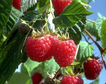 1 Heritage - Red Raspberry Plant - Everbearing - Organic