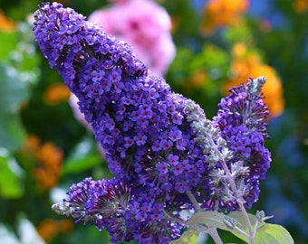 1 - Ellens Blue - Butterfly Bush