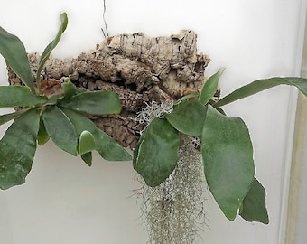 Staghorn ferns (2) mounted on natural woods