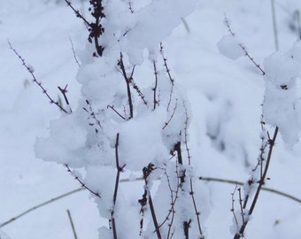 Foliage In Snow, Winter Flora and Fauna