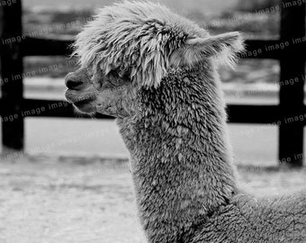 Instant download -  Alpaca , such as the rock singer