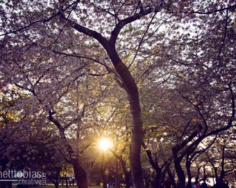 Cherry Blossom Festival Photography Nature Photography Cherry Blossom Washington DC Art Wall Decor Flower Photography