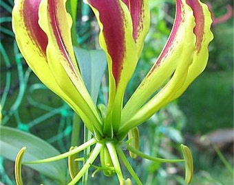 Gloriosa Carsonii Glory Vine 8 Seeds, Climbing Flame Lily, Bulb Type Flowering Garden Plants