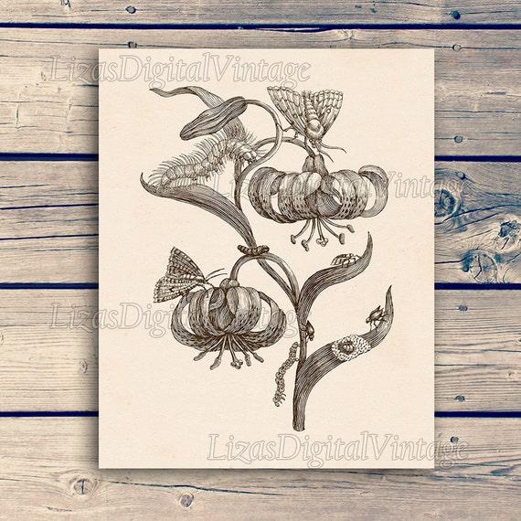 "Digital download, Vintage insect print, Insect illustration, Maria Sibylla Merian Reproduction, Moth print, Printable, 11""x14""; 8""x10"" JPG"
