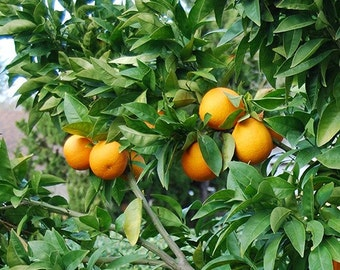 Moro Blood Orange Tree, 2-3 Year Old (2-3 Ft), Potted, 3 Year Warranty