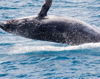 Humpback Whale Breaching, Animal Photography