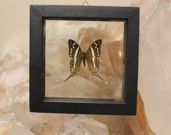 Butterfly Display Brown and White spots hanging