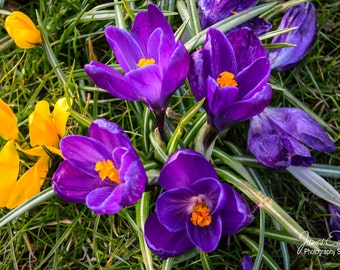 Crocus, Glasgow Park, Park Photography, Flower Photography, Nature Photography, Flower, Wall Art, Wall Decor, Fine Art Photography