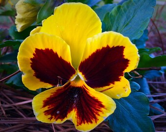 Yellow Pansies, plant, photograph, picture, wall art