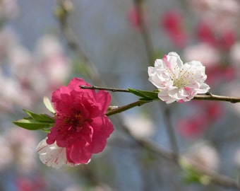 Beautiful New Spring Blossoms Photograph #87