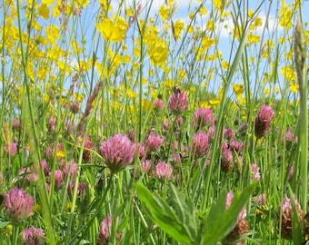 Summer wild flower meadow - original colour photograph, wild flowers, pink clover, yellow buttercups