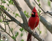 Cardinal Photography Red Bird in Spring Tree Songbird Art Photo 8x10 Wall Decor Bird Art Gift for Nature Lover Under 30 Colorful Wall Decor