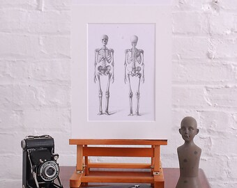 Vintage Anatomical Study of the Human Skeleton Mounted Ready For Framing