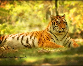 Tiger Print,Wildlife Photography,Animal,Nature, Wall Art ,Wall Decor