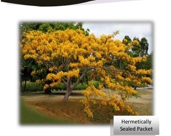 Yellow Flame Tree Delonix Regia, Rare Flamboyant 20 seeds