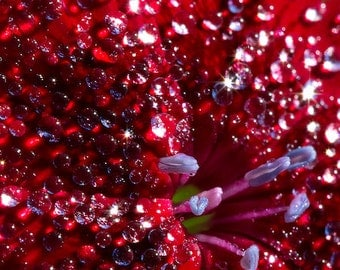 Bejeweled Red Flower Nature Photography Print