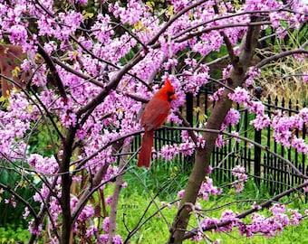 Cardinal in Redbud Tree 2012