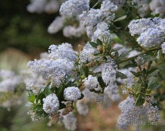 Blue Flower 5x7 Photo, 8x10 Photo, California Lilac, Ceanothus, California Garden Photo, Botanical Photo