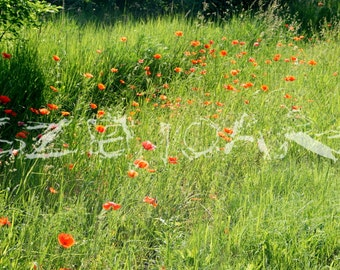 Red Weed, wild poppy photography, nature photography, orange, red, green, spring flower, nature wall decor