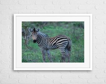 Baby Zebra Art Photo With Frame