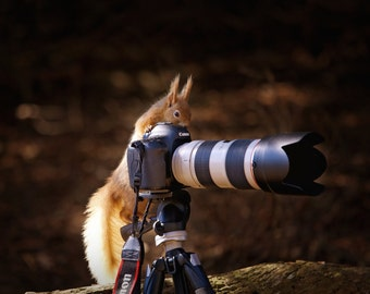 Photographic Print - Red Squirrel taking a photo!