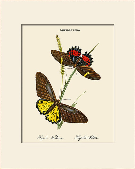 Butterfly Art Print with Mat, Papilio Heliacon, Plate 19, Donovan, Natural History Illustration, Wall Art, Wall Decor, Butterfly Print