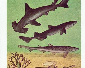 1960's Vintage Shark Print - Vintage Shark Lithograph, Shark Print, Shark Lithograph, Shark Plate, Shark, Sharks, Sea Life, Bathroom Decor