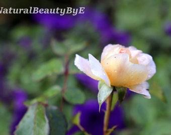 Old English garden rose