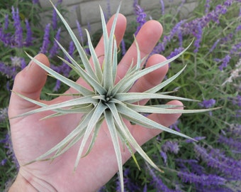tillandsia mima chilitensis air plant