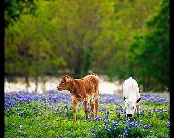 Summer Sale - Longhorn Calves, Texas Bluebonnets, Springtime Photography, Baby Animal, Livestock, Rural, Ranching, Gifts for Texans, Nursery