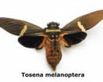 Real Tosena melanoptera cicada Unmounted Spread Ready for your Project DIY
