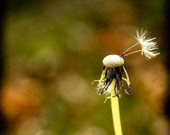 Canvas , Dandilion,flower, wish, photo print, Nature, Landscape, Reflection , fall, foliage ,Canvas Print, Wall hanging, art, home decor