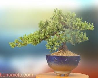 6+ Year Old Juniper Bonsai Tree in Handmade Blue Metallic Pot