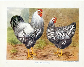 Antique Print of Silver Laced Wyandotte Chickens - 1902 Vintage Print