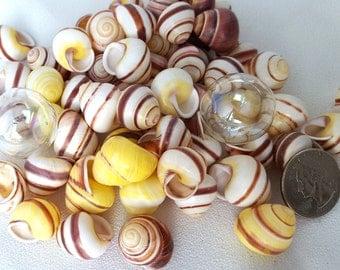Beach Decor Seashells, Nautical Decor Shells, Striped Land Snails, Yellow Land Snails, Brown Snails, Craft Seashells, Spiral Shells  12 PC