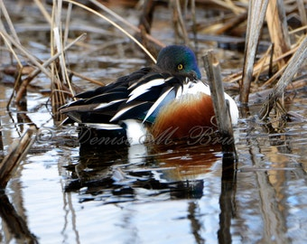 Northern Shoveler Duck Photograph - Wild Duck Photos - Wild Duck Art - Malheur National Wildlife Refuge - Gifts for Hunters