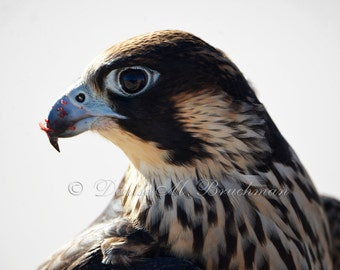 Peregrine Falcon Photo - After the Hunt - Falconry Photos - Raptor Photos - Bird Photography