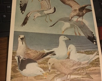 Circa 1915 Plate 5 gulls Herring, glaucous, great black backed and ring-billed. 7x11 approx. print image