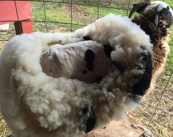 Jacob Sheep fleece from Judy Palm Tree