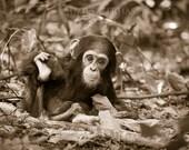 Cute Baby Chimpanzee Sepi...
