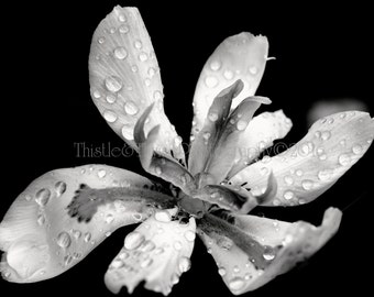 Butterfly African Iris Black and White Photographic Print - 5x7 Art Print