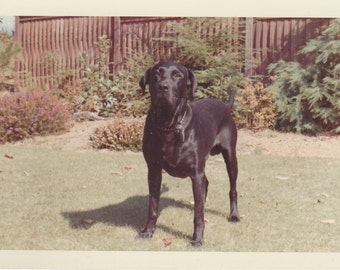 1960's Cute Pet Black labradore dog vintage animal portrait photo.Lab 5
