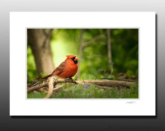Red Cardinal Matted Print, Bird Photography, Cubicle and Dorm Wall Art, Stocking Stuffer gifts, Ready for Framing, Fits 5x7 inch Frame