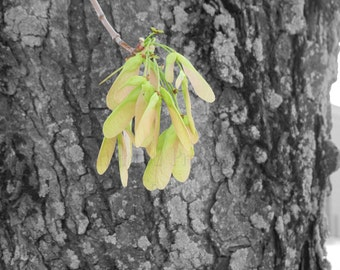 Maple Whirligigs on Black & White Tree Bark Background Nature Photography Wall Art Home Deco Lime Green and Pale Pink